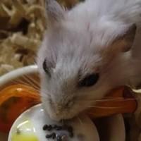ヨーグルトを食べるハムスター