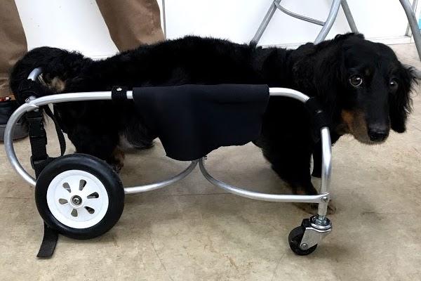 車椅子のダックスさん