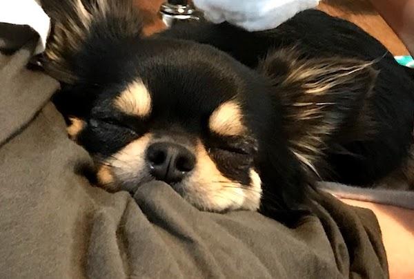 チワワの寝顔