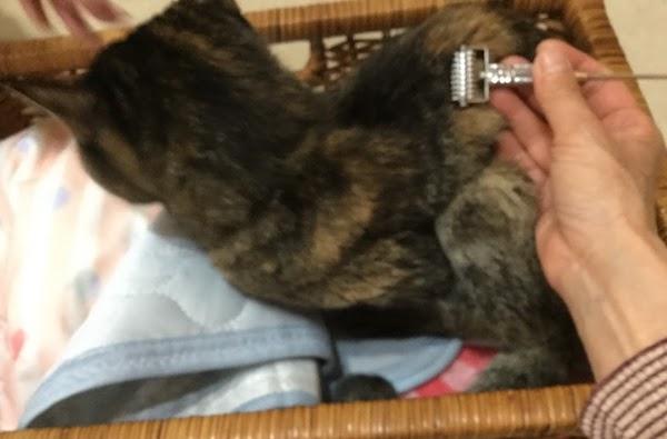 猫にローラー鍼