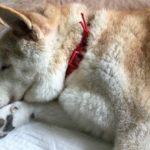 シニア犬の介護(1)〜シニアも体を動かそう