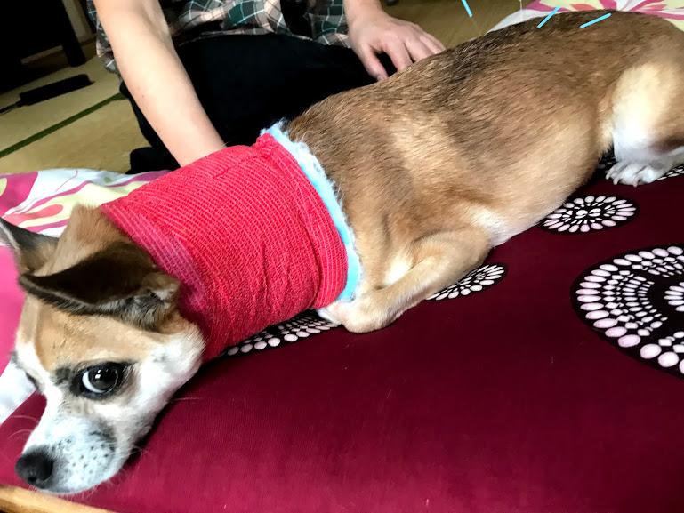 鍼治療中の犬