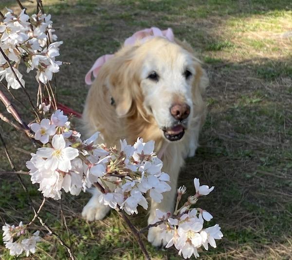 桜の下のゴールデン